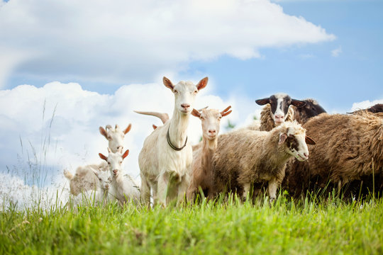 Flock of sheep and goat on pasture in nature