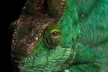 Closeup Head of Parson Chameleon, Calumma Parsoni Orange Eye Rest on Mirror Isolated on Black Background