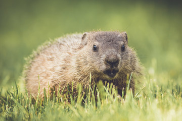 Very young groundhog walking through grass in vintage garden setting