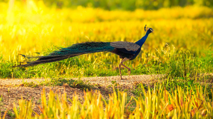 Male Indian peafowl, Blue peafowl(Pavo, cristatus) running in real nature in Thailand