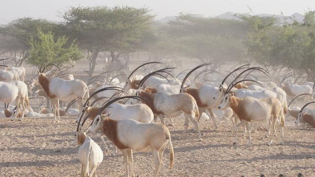 Antilopen Herde - Sir Bani Yas - Abu Dhabi