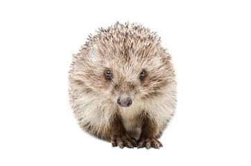 Portrait of a pretty hedgehog