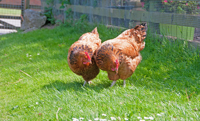 Two hens & one worm