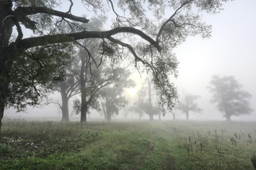 thick fog in an oak grove