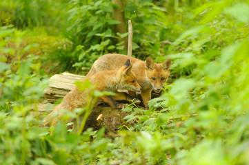 Fuchs Junge Rotfuchs Jungfuchs - fox young fox kit