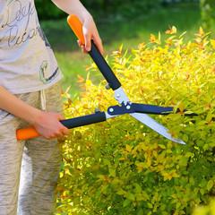 Fototapeta Shrub meadowsweet trimming obraz