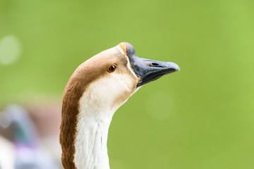 Domestic Farm Goose Portrait