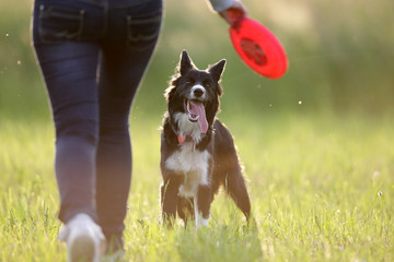 Border collie and frisbee