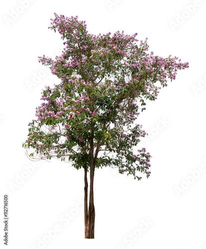 Isolated lagerstroemia speciosa tree with pink and purple flowers on isolated lagerstroemia speciosa tree with pink and purple flowers on white background mightylinksfo