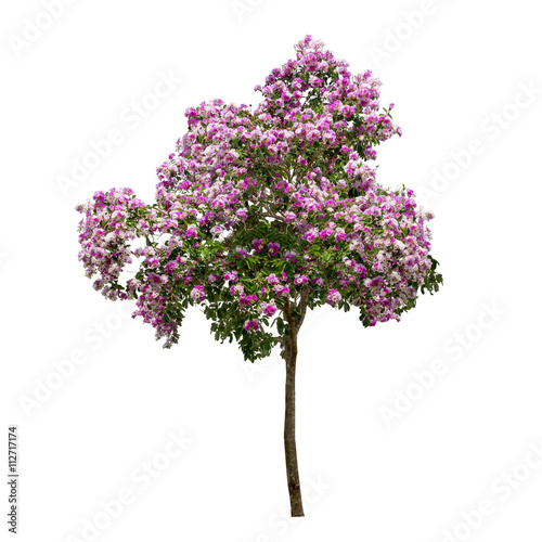 Isolated Lagerstroemia Speciosa Tree With Pink And Purple Flowers On