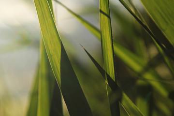 green grass at summer close up. counter light. soft focus. natural background