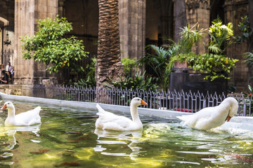 White geese in a pond, Barcelona