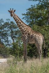 South African giraffe among trees facing camera