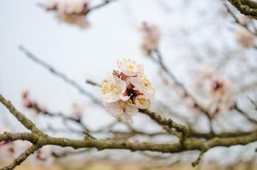 flowering peach tree in the spring