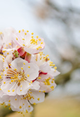 flowering peach tree in the spring