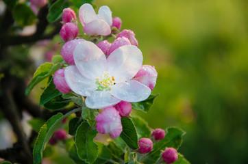 flowering apple tree in the spring
