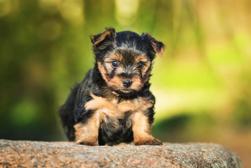 Little yorkshire terrier puppy sitting outdoors