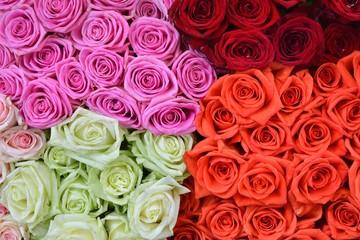 Roses background. Fresh rose. Flowers for love.