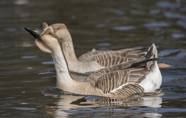 Swan goose-Anser cygnoides, swimming on a loch