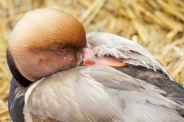 canard nette rousse
