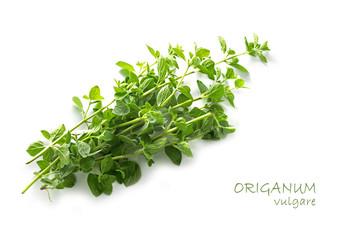 fresh green oregano, Origanum vulgare, isolated on white