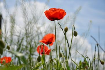Red poppy flowers meadow. Photo.
