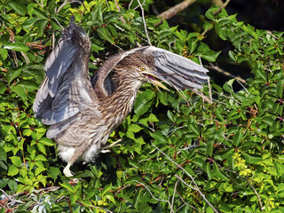 Juvenile Black-crowned Night Heron Carrying a Stick