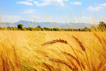 ear of wheat field