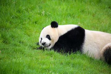 Großer Panda in Nahaufnahme