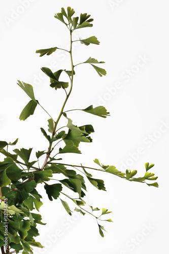 gingko pflanze ginkgo biloba nahaufnahme stockfotos und lizenzfreie bilder auf. Black Bedroom Furniture Sets. Home Design Ideas