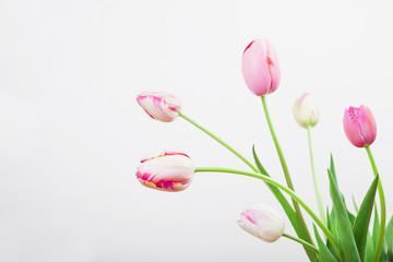 Rot weiße Tulpen vor weißem Hintergrund