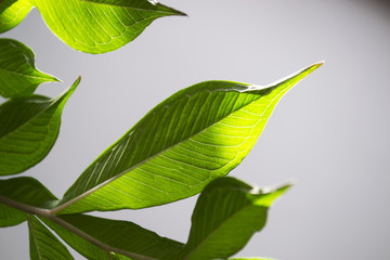 Green leaves on a gray background
