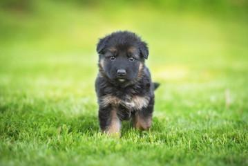 Wall Mural - Little german shepherd puppy walking in the yard