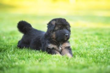 Wall Mural - German shepherd puppy lying on the lawn in summer