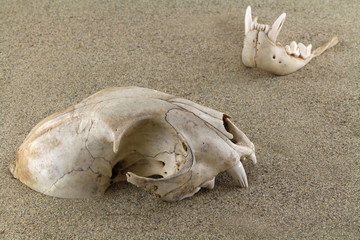 Skull of bobcat (lynx) is half-buried in sand. A bottom jaw separated out and partly buried. Old   bullet casings (sleeves) are scattered around. Focus on skull.