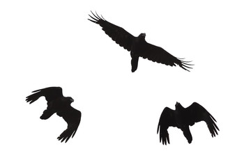 three black silhouette of a Raven in flight on a white isolated background