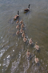 High angle view of geese and goslings swimming on an English lake