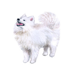Watercolor closeup portrait of cute Samoyed breed dog isolated on white background. Longhair fluffy white herdig dog. Hand drawn sweet home pet. reindeer herders dogs. Greeting card design. Clip art