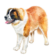 Watercolor closeup portrait of large Swiss Saint St Bernard breed dog isolated on white background. Large longhair working dog in Swiss Alps. Hand drawn sweet home pet. Greeting card design. Clip art