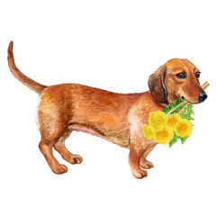Watercolor closeup portrait of smooth german Dachshund dog isolated on white background. Sweet dog holding taraxacum, dandelion flowers bouquet. Hand drawn home pet. Greeting card design. Clip art