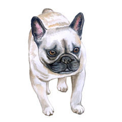 Watercolor closeup portrait of French bulldog dog isolated on white background. Shorthair Frenchie dog. Black masked. Hand drawn sweet home pet. Popular small breed dog. Greeting card design. Clip art