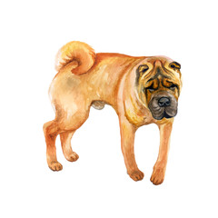 Watercolor closeup portrait of cute wrinkled chinese Shar Pei breed dog isolated on white background. Shorthair medium-sized red fawn dog. Hand drawn sweet home pet. Greeting card design clip art