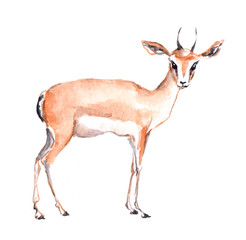 Antelope animal. Watercolor