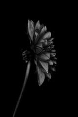 Single flower against plain background, black and white