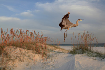 Wall Mural - Great Blue Heron on Sunrise Beach