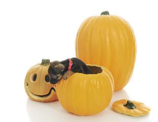 Pup Pumpkin