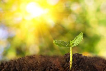 Seedling plants of morning light