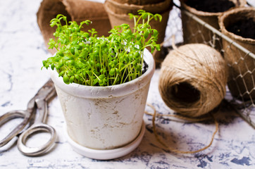 Seedlings of green watercress