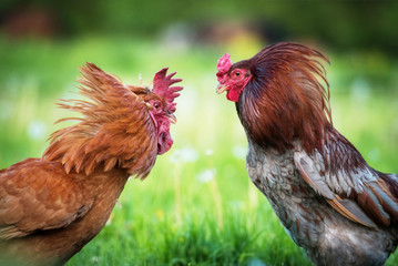 Two beautiful roosters fighting