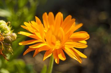 Wallpaper Macro orange flower on blur background